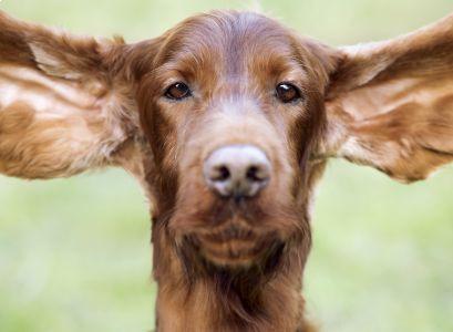 Cosa sentono i cani?